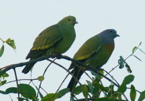 Pink-necked Green Pigeon© How Pang
