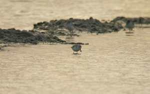 Spoonbilled-sandpiper
