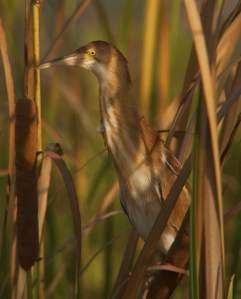 Yellow BitternIxobrychus sinensis