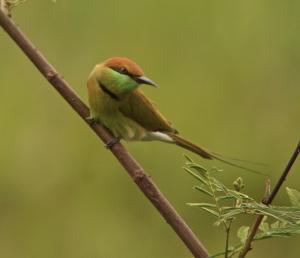 Green Bee-eater 22.09.13 Huay Mai Teng Reservoir