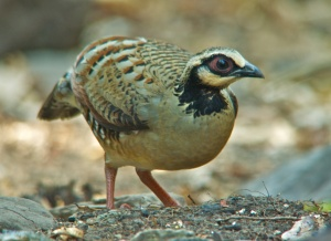 Bar-backed Partridge Lung Sin Hide Phetchburi Province 13.03.14