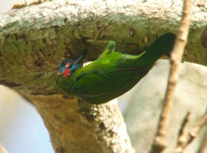 Blue-throated Barbet Lung Sin Hide Phetchburi Province 13.03.14