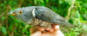 Himalayan Cuckoo (in the hand)Ko Man Nai, Rayong Province18.03.14