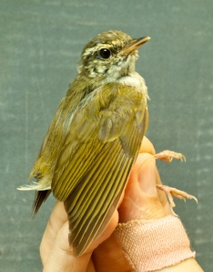 Sakhalin Leaf-warbler(in the hand)Ko Man Nai, Rayong District18.03.14