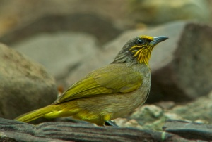 Streak-throated Bulbul Lung Sin Hide Phetchburi Province 13.03.14