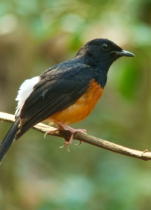 White-rumped Shama Lung Sin Hide Phetchburi Province 13.03.14
