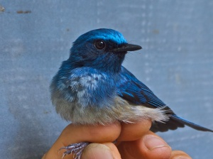 Hainan Blue Flycatcher(in the hand)Ko Man Nai, Rayong Province20.03.14