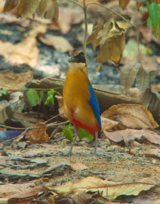 Blue-winged Pitta Koh Man Nai Island Rayong Province 28.04.14