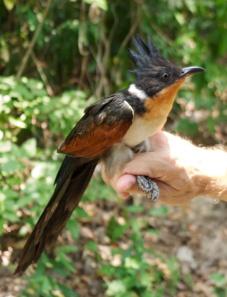 Chestnut-winged Cuckoo Koh Man Nai Island Rayong Province 28.04.14